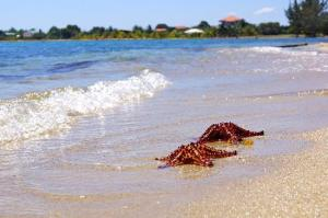 Starfish on the beach in Placencia, Belize.